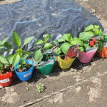 はじめての植付け①:トウガラシ6種