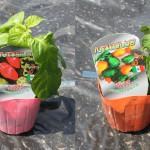 2016年品種 「トウガラシ ハバネロレッド/ハバネロオレンジ」