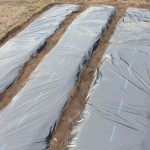 マルチを張るなら畝は台形ではなくカマボコ型の方が良い