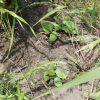 カボチャは河原の雑草の中でも育つのかを確認してみよう