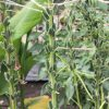 金ゴマ、スズメガの食害によりほぼすべての葉を失う