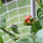 ベランダ菜園にカメムシ襲来、ハバネロが被害に