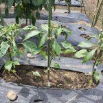 7月播種、8月定植のトウガラシ、耐病性ピーマンの状況は?