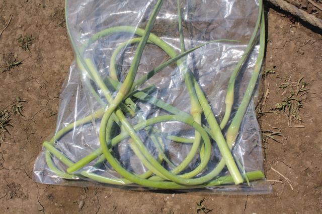 ニンニクの芽収穫