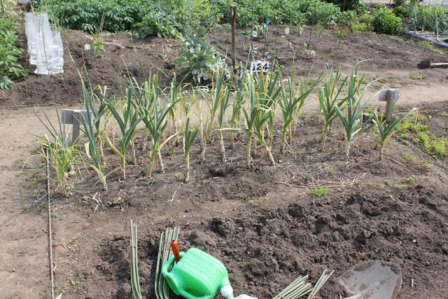 収穫前のニンニク