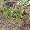 【実験結果】ニンニクは12月に植えるとどうなるか?