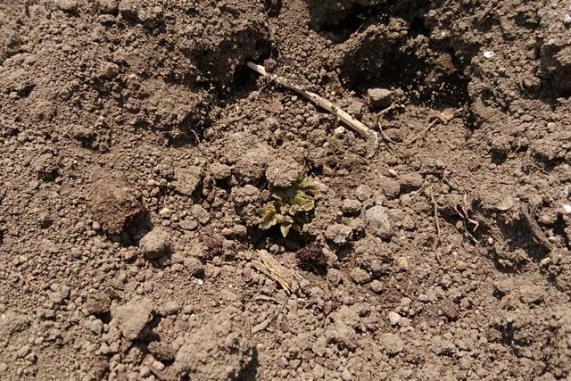 GW植え付けのジャガイモ萌芽