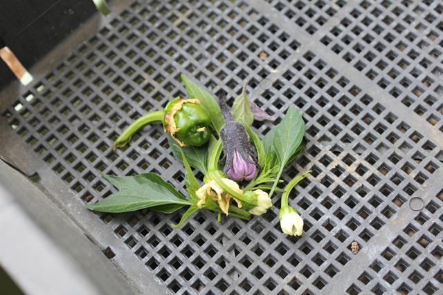 摘み取った脇芽と1番花