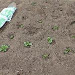 ずらし栽培のジャガイモ萌芽出揃う、が・・・