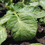 ずらし栽培のジャガイモ、芽掻き&土寄せ
