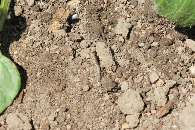 ジャガイモの根本に死んだ虫