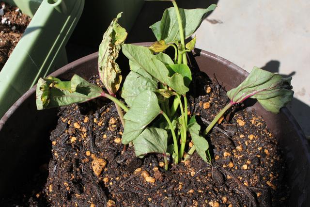 植木鉢にサツマイモ植え付け