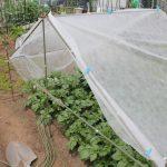 遅植えジャガイモの梅雨対策として雨よけを設置