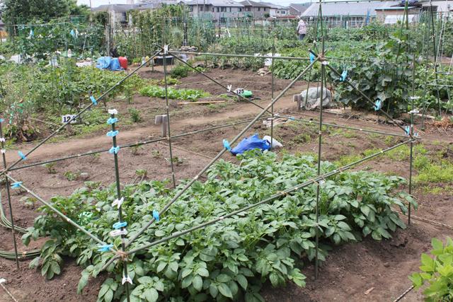 ジャガイモに雨よけ設置