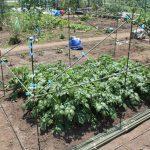 遅植えジャガイモ1ヶ月後の様子/2回目の土寄せ