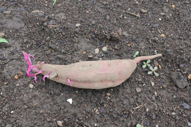 サツマイモの種芋