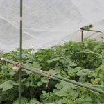 入梅したのでジャガイモに雨よけを