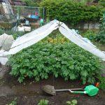 ジャガイモの雨除け、強雨に負けるの巻
