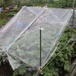 ジャガイモ摘花、雨よけの改修