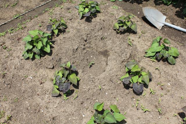 サツマイモの萌芽