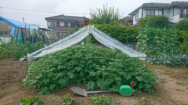 ジャガイモの苗