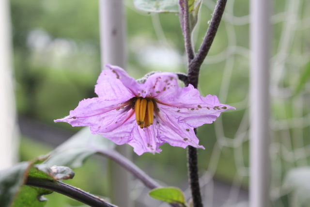 ナスの花にアブラムシ