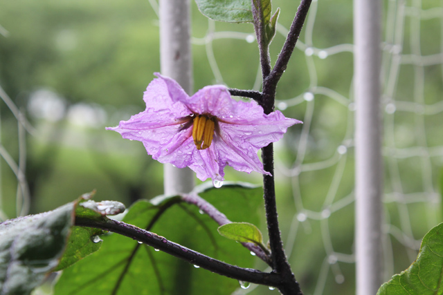 ナズの花に付いたアブラムシを駆除