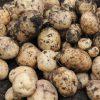 GW植え付けのジャガイモ収穫 結果は?