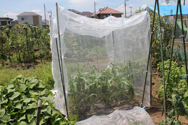 トウモロコシに防虫ネット