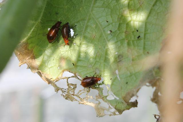 キュウリの葉を食べるウリハムシ