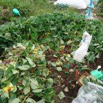 サツマイモ収穫の準備