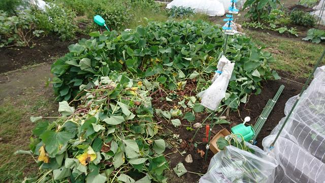 サツマイモの収穫準備
