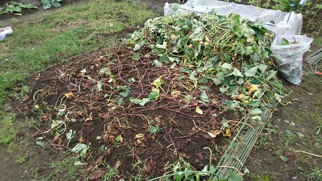 サツマイモ収穫前準備