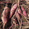 サツマイモの収穫は惨敗でした