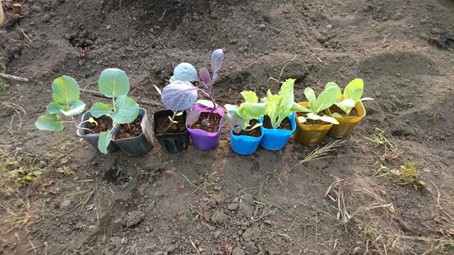 冬野菜の苗