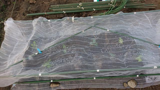 冬野菜の植え付け