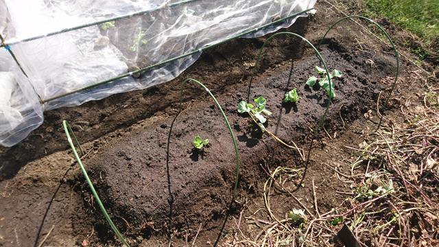 冬野菜植え付け