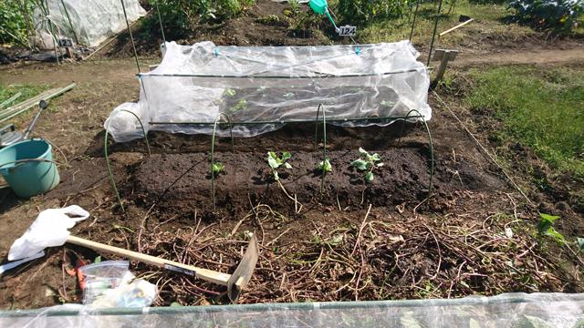 冬野菜植え付け完成
