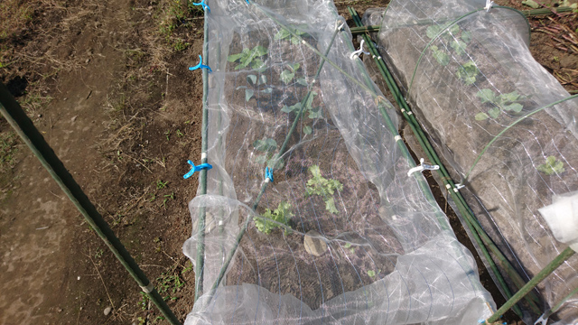 冬野菜2畝目