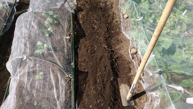 冬野菜4畝目