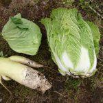 白菜/キャベツ/大根を収穫