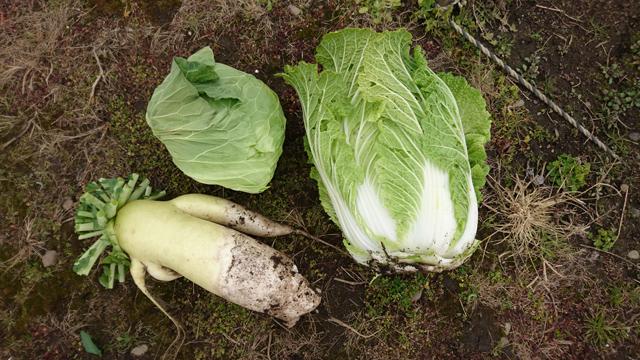 収穫した白菜/キャベツ/大根